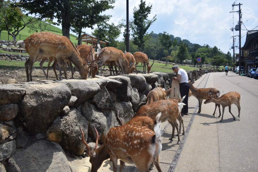 Numerous deer gather around and old man who feeds them in the afternoon. | Photo by Alexandra Pamias